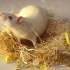 «Поющая» мышь японских генетиков